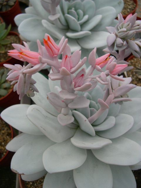 Echeveria lauii - I love pink and grey together