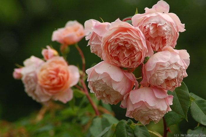William Moriss, David Austin english rose
