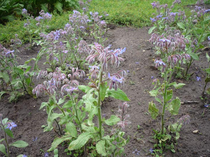 Egy természetes kertből sem hiányozhat a kerti borágó. Régóta ismert egyéves fűszer-, dísz- és gyógynövény. A csillag alakú virágok egész nyáron nyílnak, és levelekhez hasonlóan szintén ehetőek. Igénytelensége és díszítő virágai, valamint bolyhos hajtásai miatt díszként is ültetik. http://kertlap.hu/baratcserje/