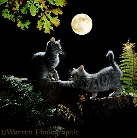 Full Moon Kittens | Kittens out at night, by moonlight