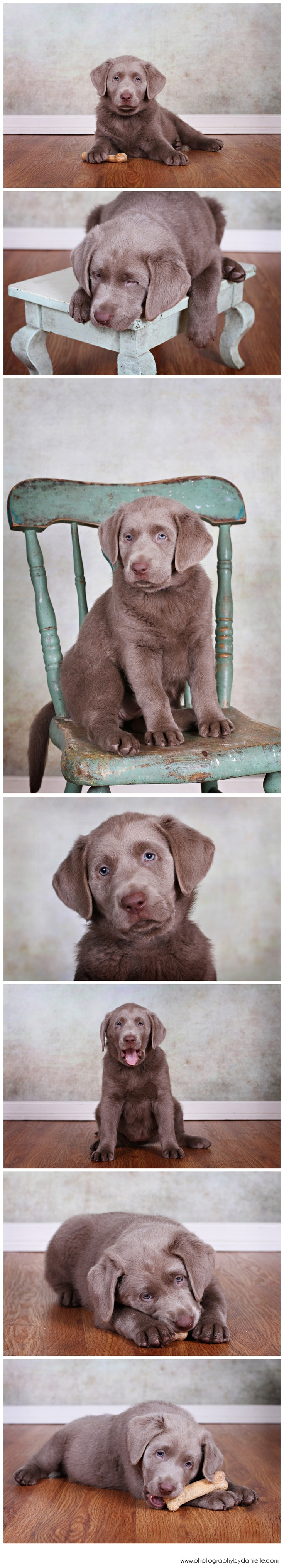 98 best Silver Lab Puppies images on Pinterest