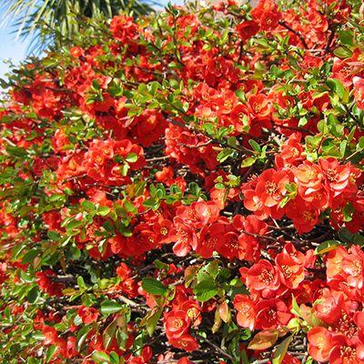 Они зарекомендовали себя как кустарники цветущие все лето, зимостойкие, так как на боятся заморозков. Цветение начинается в мае и прекращается с первыми морозами.