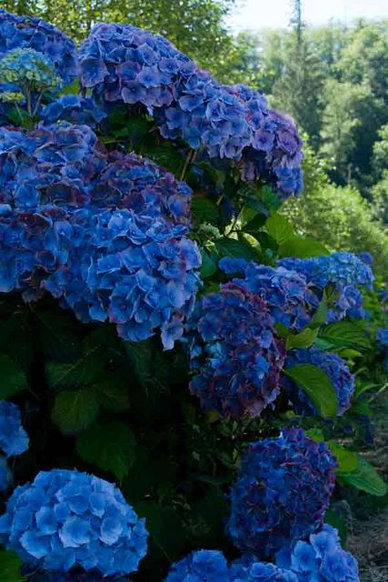 blue hydrangea #1 of 3 type of  flowers I want in my wedding boquet