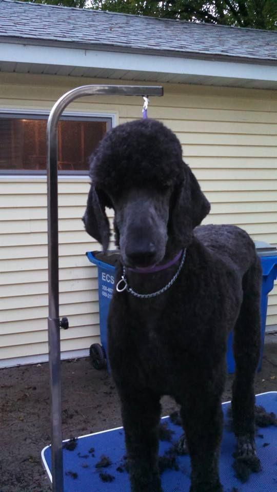 Great Short Cut Manly Standard Poodle Cuts Poodle