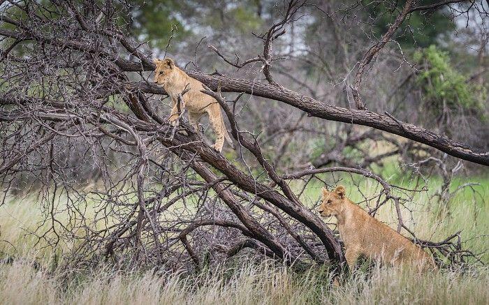 Playful lion cubs #OkavangoDelta