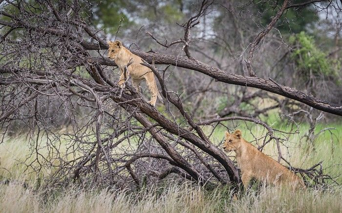 Playful lion cubs #OkavangoDelta