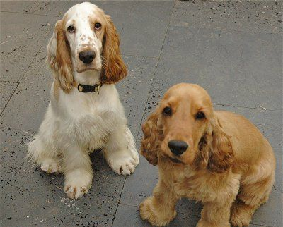 English Cocker Spaniels AJ (left) and Tommie Iacono at one year old
