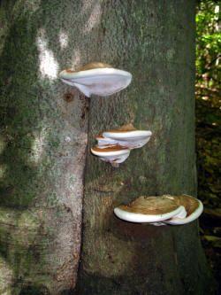 Artist's Conk (Ganoderma applanatum) -