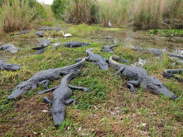 Americký aligátory, Národný park Everglades, Národné parky v USA