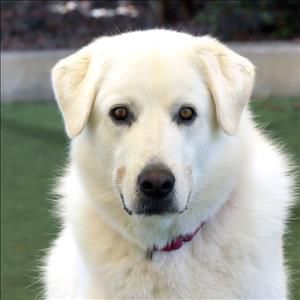Baxter is an adoptable Akbash searching for a forever family near Oceanside, CA. Use Petfinder to find adoptable pets in your area.