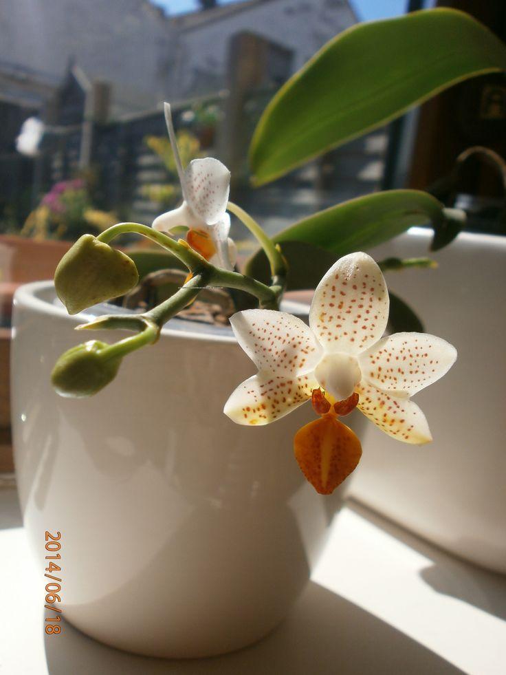Phalaenopsis Mini Mark.