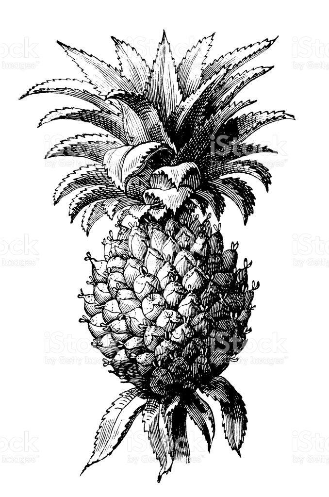 The pineapple (Ananas comosus) Lizenzfreies vektor illustration