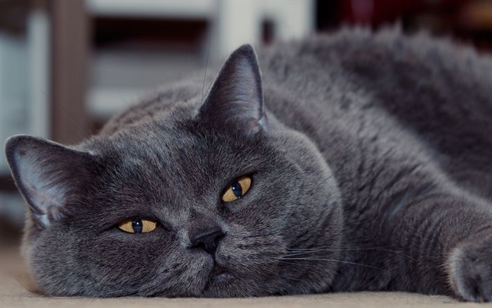 Download wallpapers British shorthair cat, gray fluffy cat, pets, cute animals, cats