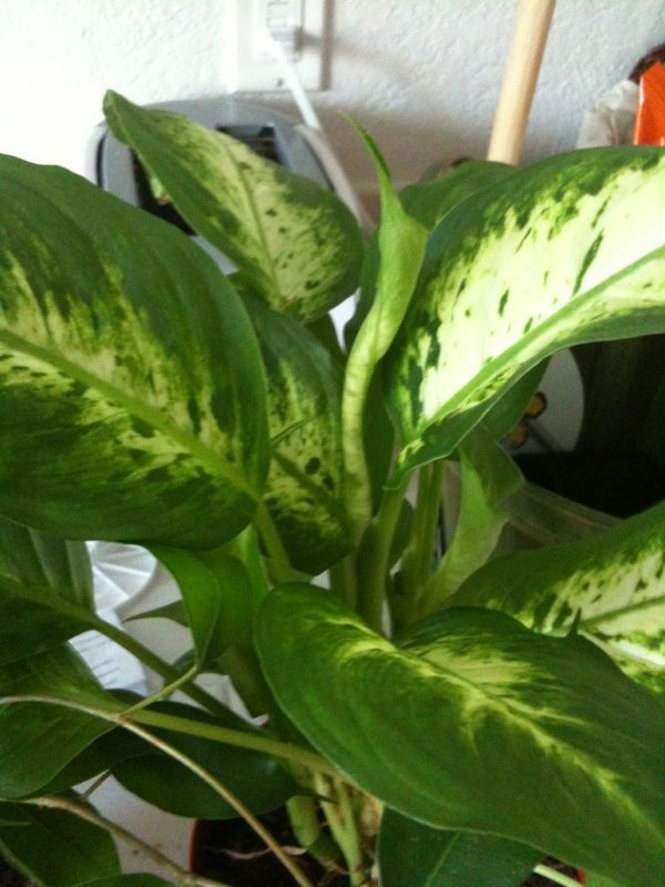 pretty dieffenbachia house plant. Dumb Cane Plant  dieffenbachia amoena This appears to be a variegated dumb cane plant one of the world s favorite houseplants Indoors provide bright 57 best Dieffenbachia images on Pinterest Indoor house plants