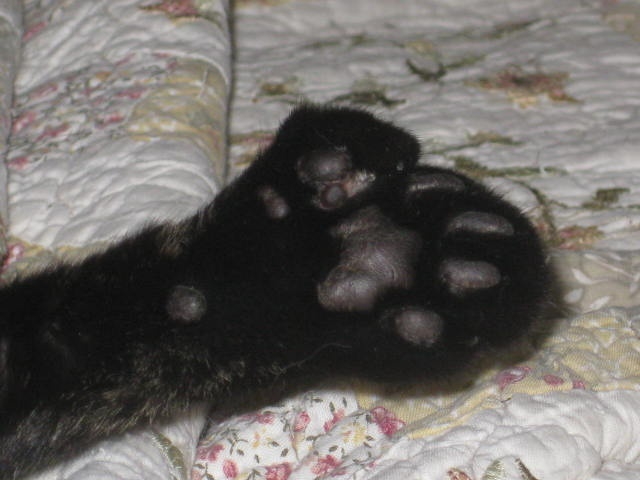 I have a Hemingway cat. Six toes on each front foot.