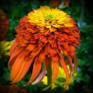 Dragons Wart Coneflower Echinacea Seeds -30 Seeds - Summer Blooming