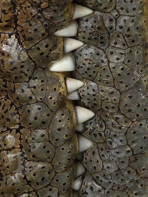 Gator skin and teeth