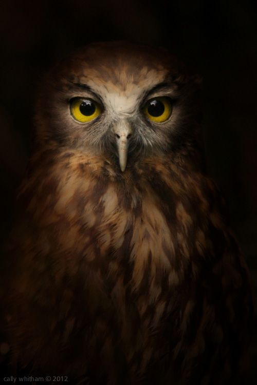 Owl Photographed by Cally Whitman in romantic lighting making it appear as a real oil painting