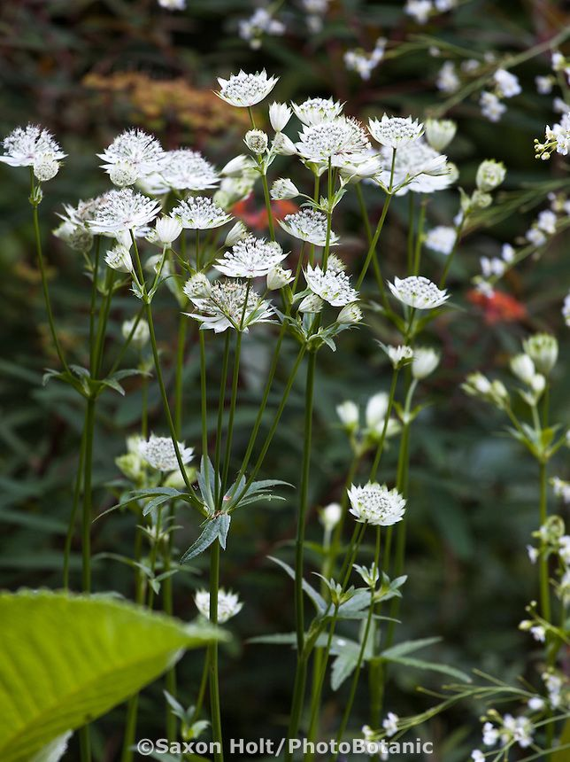 White Flowering Perennial Astrantia Major White Giant Or