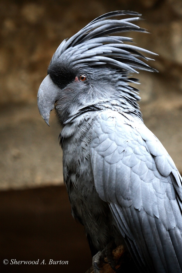 Blue-grey Palm Cockatoo
