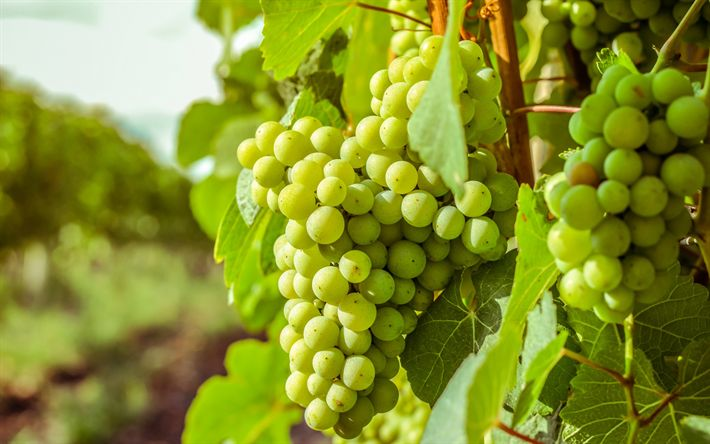 Download wallpapers white grapes, autumn, harvest, green grapes, bunch of grapes