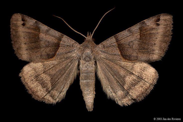 Forage Looper Moth (Caenurgina erechtea) - Kanata, Ontario - July 22, 2003