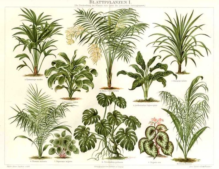 LARGE LEAF PLANTS, Windmill Palm,Chinese Fan Palm, 1894 Original Chromolithograph