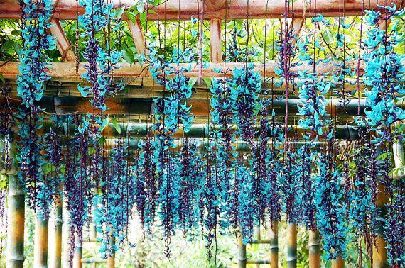 5 Blue Jade Vine Strongylodon Macrobotrys Jasper Flower Seeds Rare Endangered Fragrant Perennial Heirloom Climbing Plants Gardening Home