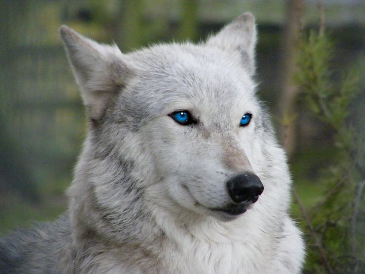 33 Best White Wolves With Bright Blue Eyes Images On