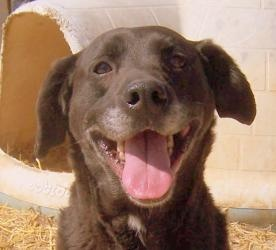 Old Man / Greybeard is an adoptable Black Labrador Retriever Dog in Lawrenceville, IL. I go by a few different names at the shelter. You can call me either Old Man or Graybeard, I respond to either on...