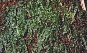 Polyphlebium venosum