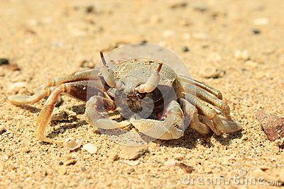 Crab on sand beach in Vietnam