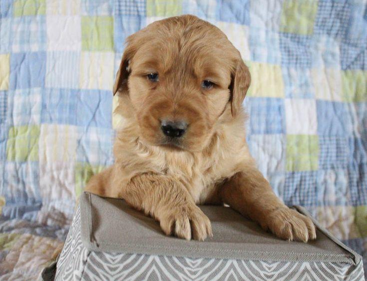Brent AKC Golden Retriever male puppie for sale in