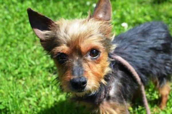 Dog For Adoption Ceasar A Yorkshire Terrier Chihuahua Breed