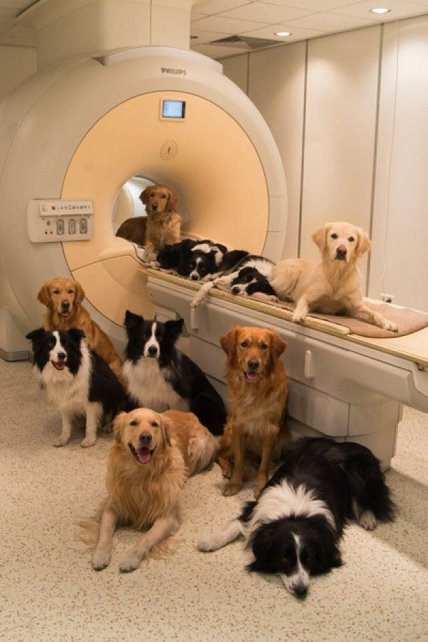 How Dogs Know What You're Feeling by sciencemag:  Dogs' brain scans reveal vocal areas similar to those in human brains...Striking similarities in how dog and human brains process emotionally laden sounds...The finding helps explain how canines can be so attuned to their owners' feelings. #Neuroscience #Dogs #Voice_Areas