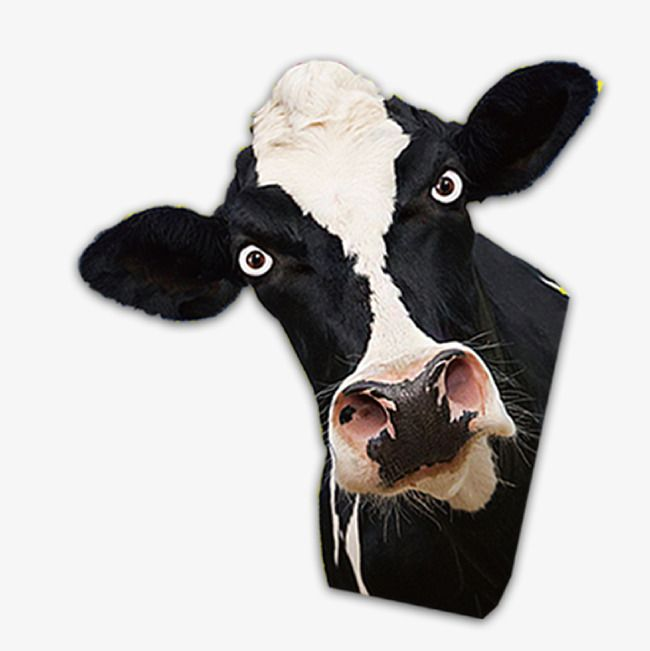 Cow Head Cow Clipart Head Clipart Dairy Cow Png And Vector With Transparent Background For Free Download Cow Png Cow Clipart Cow Head