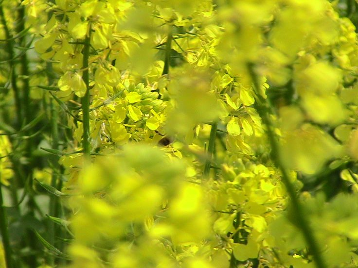 ape su fiore di senape