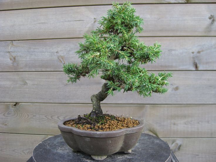 13 - Juniperus rigida (01/2016)