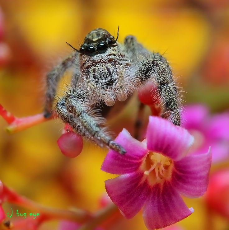 \\oOOo// by bug eye :), via 500px; Jumping spider, Thaliand