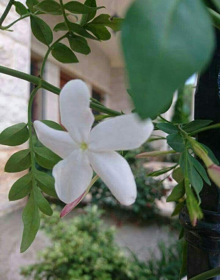 Pin By زهرة الياسمين On Fleurs ورد Flower Jasmine Plant Different Flowers Flowers
