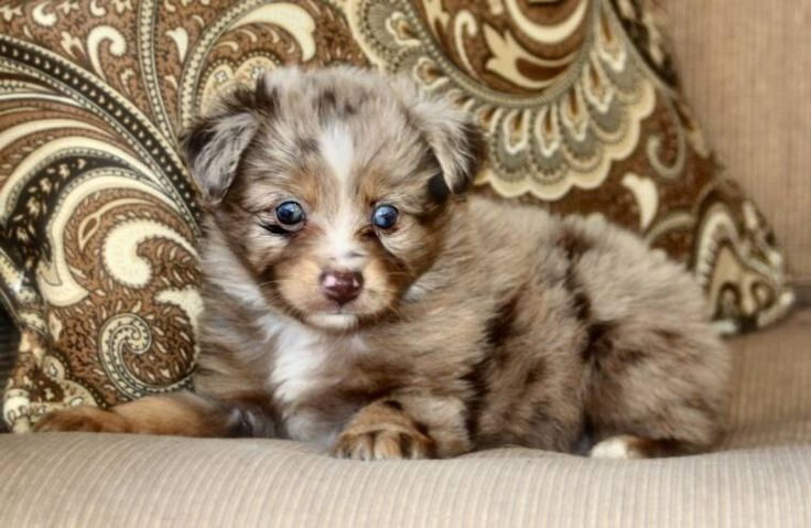 Teacup Australian Shepherd | Blue Horizon toy australian shepherds - Tap the pin for the most adorable pawtastic fur baby apparel! You'll love the dog clothes and cat clothes! <3