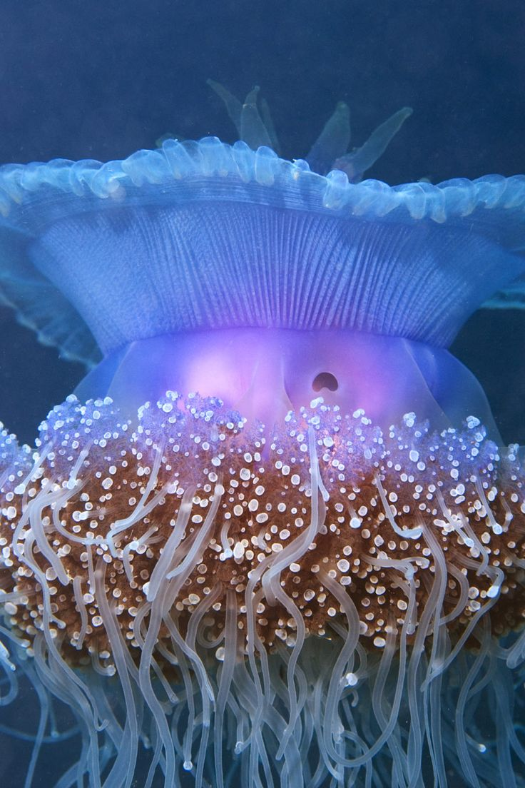 Australia's Coral Sea is one of the last remaining places on Earth where populations of jellyfish like this one, as well as large fish such as sharks, tuna and billfish, remain healthy. The Australian government is considering the Coral Sea for such a reserve. Such large reserves are rare.