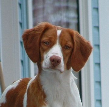 I love everything about this breed. Brittany spaniel!