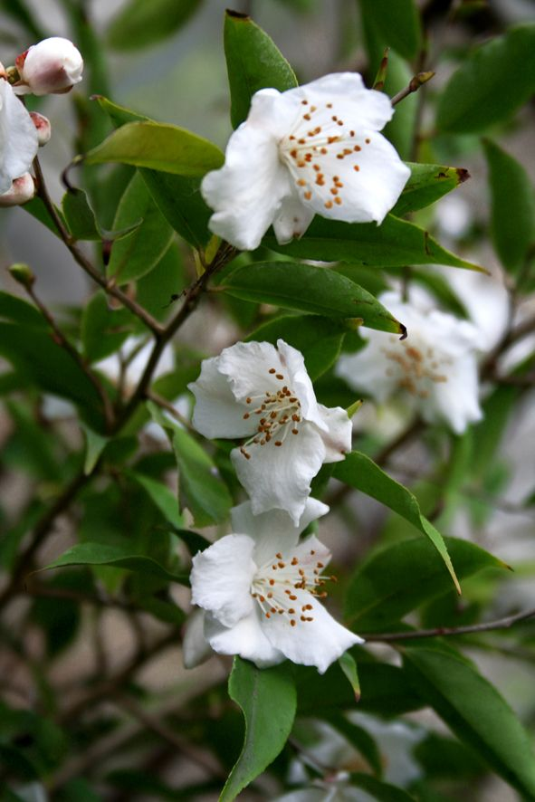 Camellia tsaii. Elegant arching form with delicate white flowers.