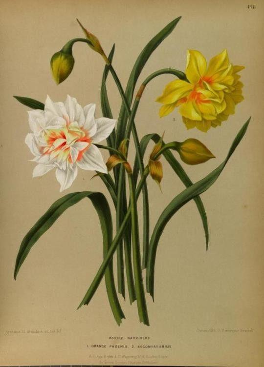 Narcissus. Illustrations taken from 'Album van Eeden' (1872). Missouri Botanical Garden.