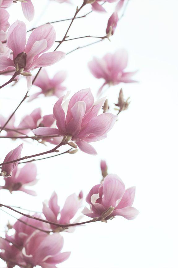 magnolias by LoveMissB