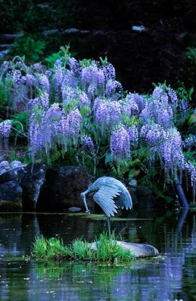 Japanese garden. Hakone. Saratoga. California. crane statue in pond with Wisteria sinensis, by John Glover.