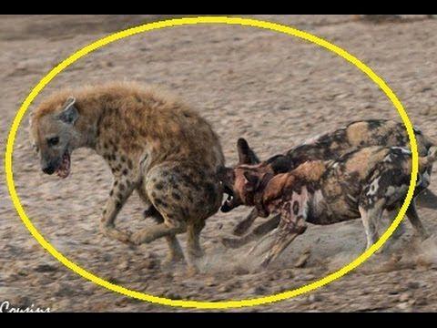 Wild dogs Vs Hyena - Wild dogs fight hyena to death