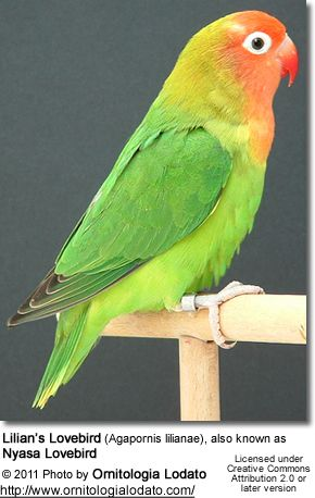 The Lilian's Lovebird (Agapornis lilianae), also known as Nyasa Lovebird, is a small African parrot species of the lovebird genus.