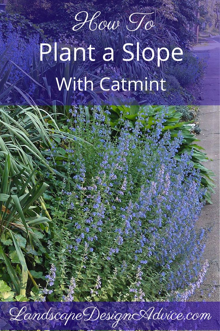 Ine design stone 187 other products - Definitely Use Catmint On A Slope In Your Landscape Design Repeat It For Splashes Of